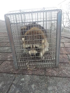 Raccoon Removal Cincin...