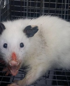 dallas possum removal