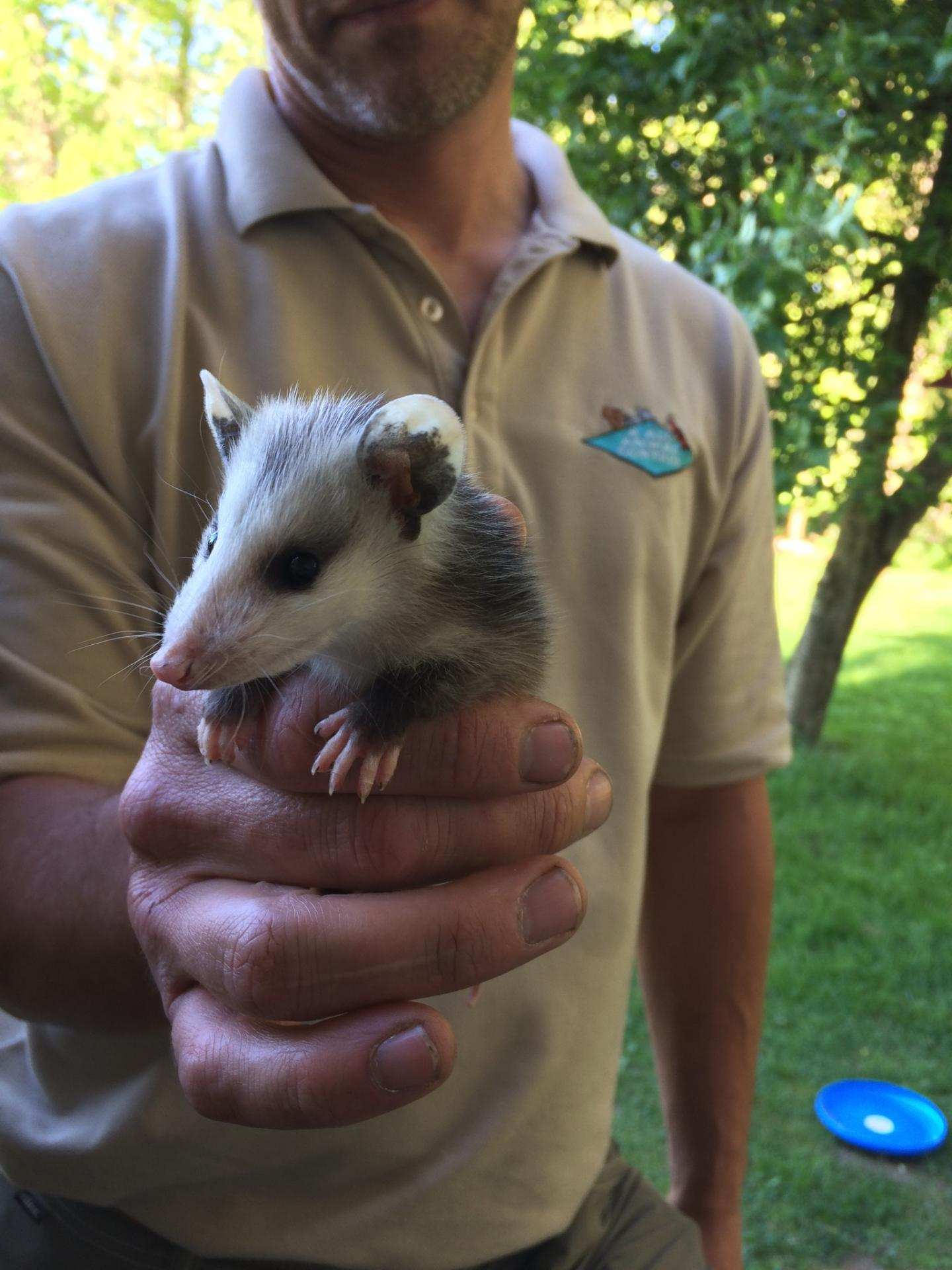 Opossum Or Possum Trapping Pittsburgh Pennsylvania A All