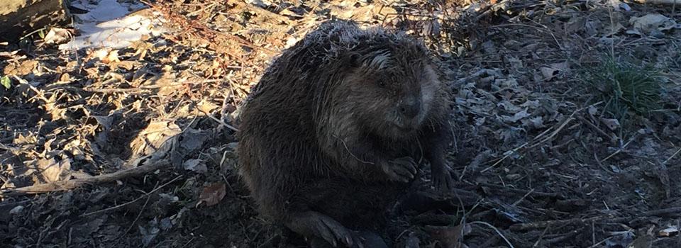 beaver banner2
