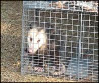 opossum control Morehead