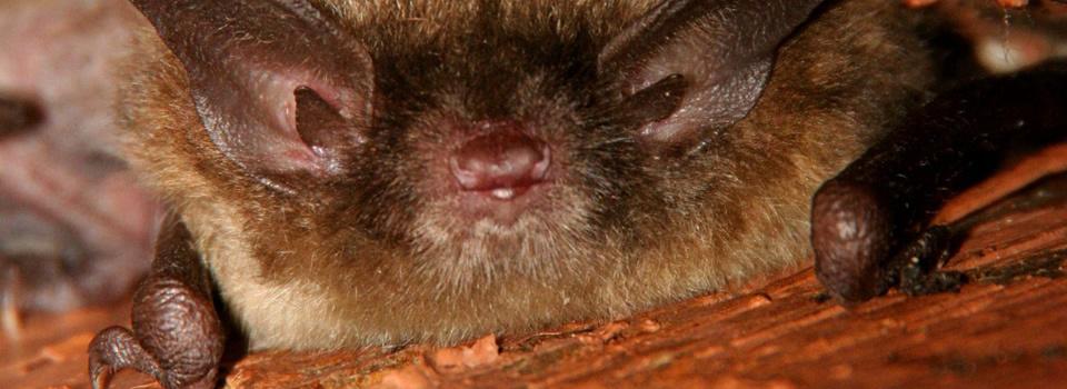 atlanta-bat-removal