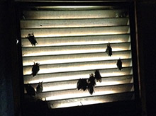 bats in vent louisville ky