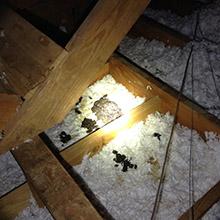 raccoon waste in attic louisville