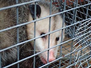 opossum011