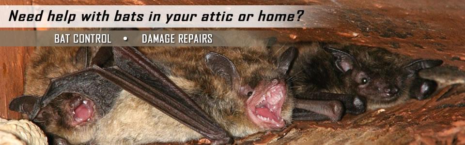 Bat Control & Damage Repair By A All Animal Control