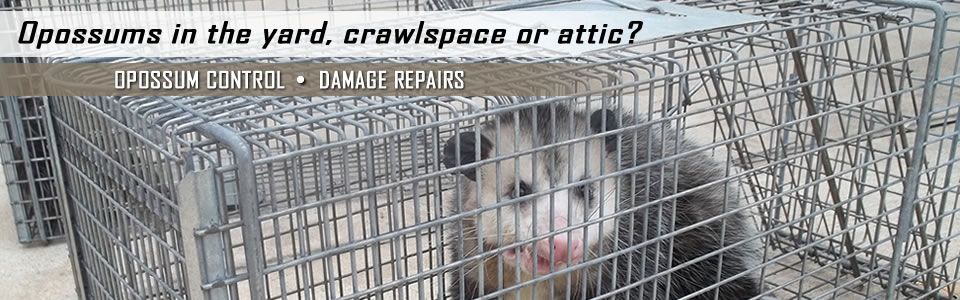 Opossum Control & Damage Repairs By A All Animal Control