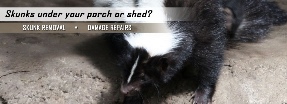 Skunk Removal And Damage Repairs By A All Animal Control