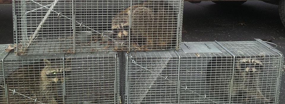 raccoon-slider