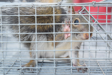 squirrel-trapping