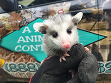opossum-trapping