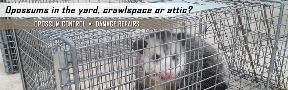Opossum In Cage