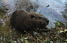beaver-control
