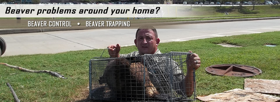 Team Member Holding Beaver In Cage- Beaver Control And Trapping 2