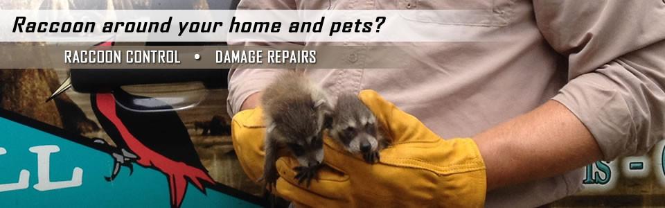 Image of: Rat Raccooncontrolslider Wildlife Removal Services Of Jacksonville Florida Raccoon Control Raccoon Removal Huntsville Alabama