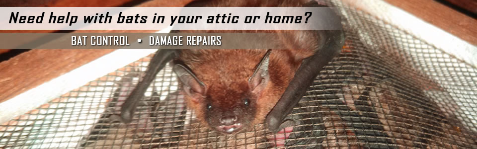Bat Removal Amp Control Louisville Ky Aaac Wildlife Removal