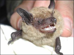 nashville bats in attic