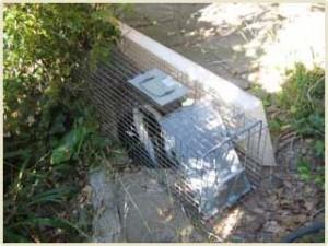 nashville skunk removal