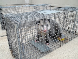 opossumremoval