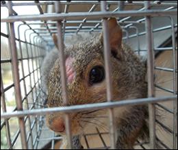 Squirrel removal houston