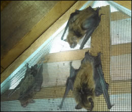 bat removal and control