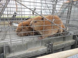 beavercontrol