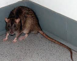Rat Control Houston Tx Rodent Rats And Mice Removal