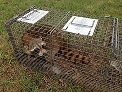 raccoon remvoal Pensacola