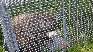 Pittsburgh groundhog trapping