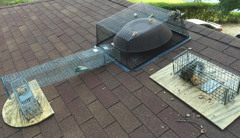squirrel_removal