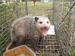 Opossum Removal Trapping Opossums San Antonio Texas