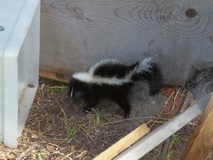 skunk removal San Bernardino