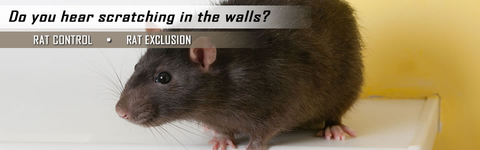 Rat Control And Exclusion