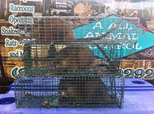 beaver-trap