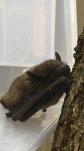 little_bat