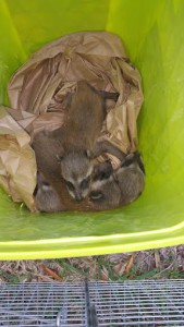 raccoon trapping tampa