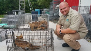 tampa fox trapping