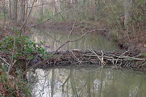 beaver_dam