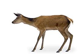 deer_control