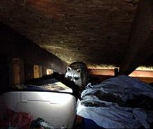raccoon in attic louisville
